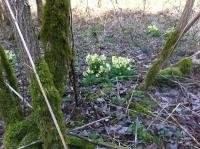 Naturgarten: Frühjahrsputz und Frühjahrsblüher